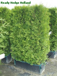 thuja occidentalis brabant ready hedge holland ochten the netherlands. Black Bedroom Furniture Sets. Home Design Ideas