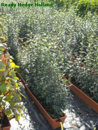 » Ready Hedge Holland » Ligustrum vulgare » Photo 1
