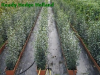 » Ready Hedge Holland » Ligustrum vulgare » Photo 2
