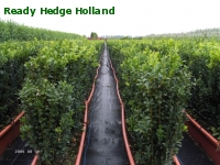 » Ready Hedge Holland » Buxus sempervirens » Photo 2