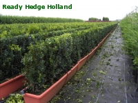 » Ready Hedge Holland » Buxus sempervirens » Photo 5