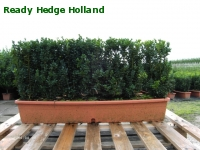 » Ready Hedge Holland » Buxus sempervirens » Photo 6