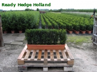 » Ready Hedge Holland » Buxus sempervirens » Photo 3