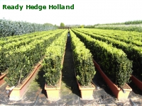 » Ready Hedge Holland » Buxus sempervirens » Photo 4