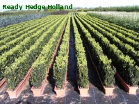 » Ready Hedge Holland » Buxus sempervirens » Photo 8