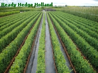 » Ready Hedge Holland » Buxus sempervirens » Photo 7