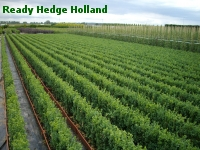 » Ready Hedge Holland » Buxus sempervirens » Photo 1