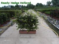 » Ready Hedge Holland » Fagus sylvatica » Photo 1