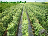 » Ready Hedge Holland » Fagus sylvatica » Photo 2
