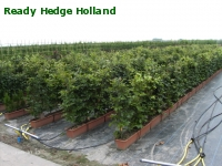 » Ready Hedge Holland » Fagus sylvatica » Photo 3