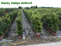 » Ready Hedge Holland » Fagus sylvatica » Photo 4