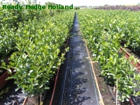 » Ready Hedge Holland » Ligustrum ovalifolium » Foto 1