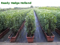» Ready Hedge Holland » Ligustrum ovalifolium » Foto 2