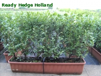 » Ready Hedge Holland » Ligustrum ovalifolium » Foto 3