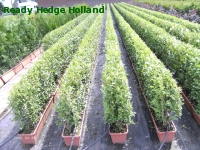 » Ready Hedge Holland » Ligustrum ovalifolium » Foto 4