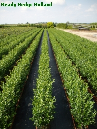 » Ready Hedge Holland » Ligustrum ovalifolium » Foto 5