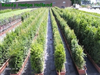 » Ready Hedge Holland » Taxus baccata » Photo 1