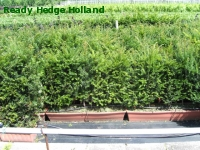 » Ready Hedge Holland » Taxus baccata » Photo 2