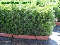 » Ready Hedge Holland » Taxus baccata » Photo 3
